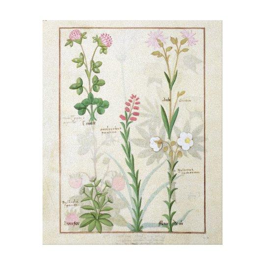 Red clover & Aube Bellidis Onobrychis & Hyssopus Canvas Print