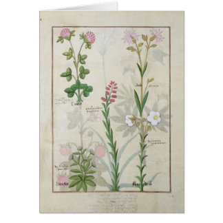 Red clover & Aube Bellidis Onobrychis & Hyssopus Card