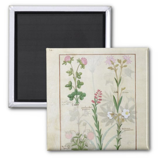 Red clover & Aube Bellidis Onobrychis & Hyssopus Magnet