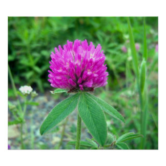 Red Clover Blossom 3 Poster