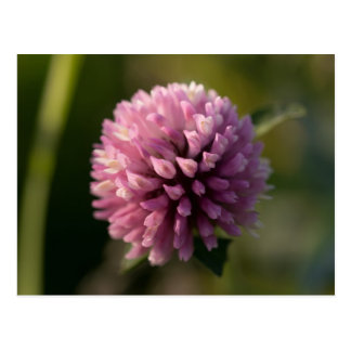 Red Clover Postcard