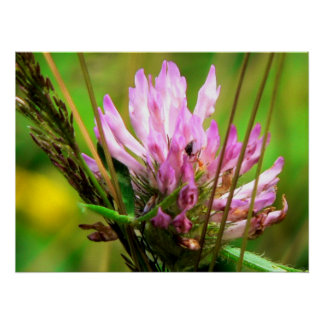 Red Clover Print