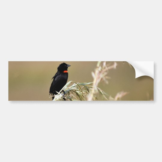 Red Collared Widow South Africa Bumper Sticker