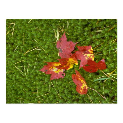 Red colored maple leaves fallen on carpet of moss post card