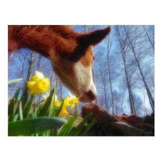 Red Cow and Yellow Daffodils Postcard