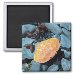 Red Crab Shell 1 Magnet