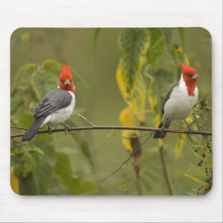 Red-Crested Cardinal Pair, Paroaria coronata, Mouse Pad