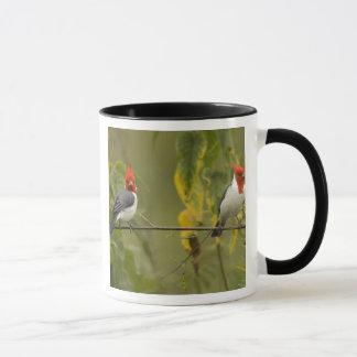 Red-Crested Cardinal Pair, Paroaria coronata, Mug