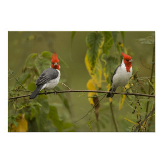 Red-Crested Cardinal Pair, Paroaria coronata, Poster