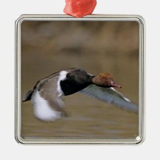 Red-crested Pochard, Netta rufina, male in Metal Ornament