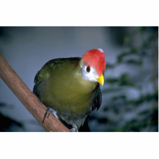 Red-crested turaco, Africa Photo Cut Outs