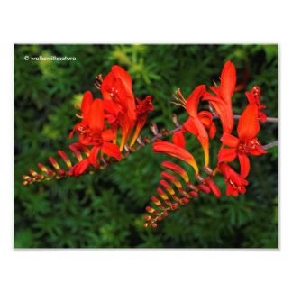 Red Crocosmia Lucifer Coppertips Flowers Photo Print
