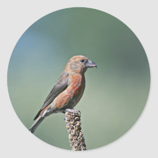 Red Crossbill Stickers
