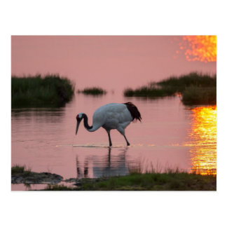 Red-Crowned Crane At Sunset Postcard