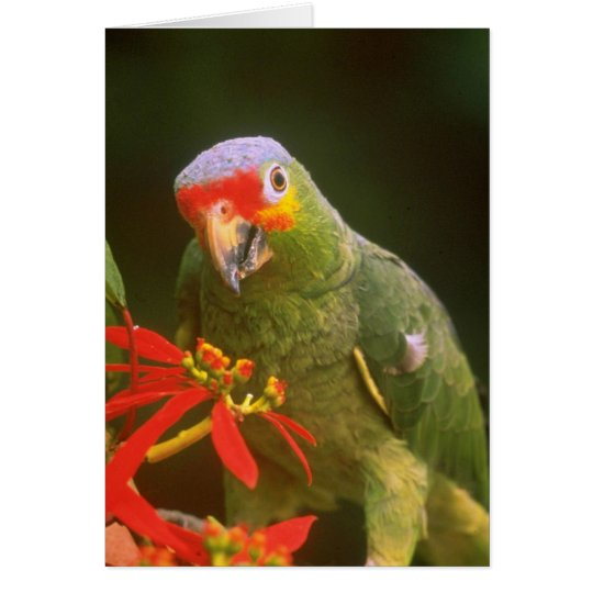 Red-crowned parrot flowers card