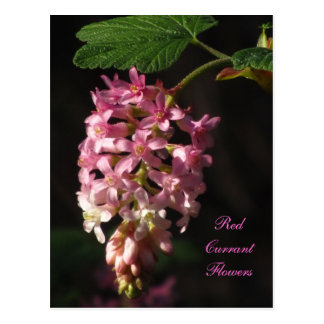 Red Currant Flower Postcard