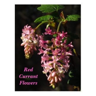 Red Currant Flowers Postcard