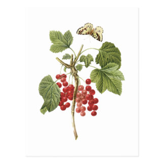 red currant(Ribes rubrum) by Redouté Postcard