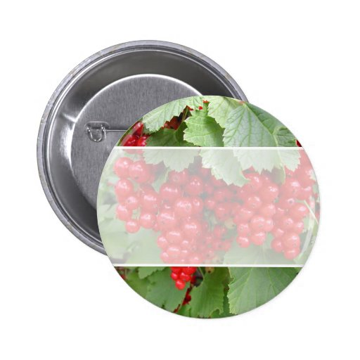 Red Currants on the Plant. Green Leaves. Button