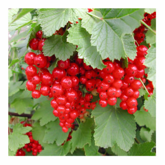 Red Currants on the Plant. Green Leaves. Photo Cut Out