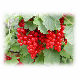 Red Currants on the Plant. Green Leaves. Photo Cutout
