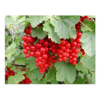 Red Currants on the Plant. Green Leaves. Postcard