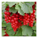 Red Currants on the Plant. Green Leaves. Posters