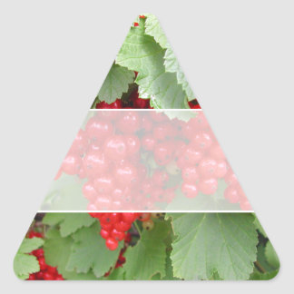 Red Currants on the Plant. Green Leaves. Triangle Sticker