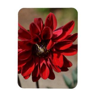 Red Dahlia Blossom Rectangular Magnets