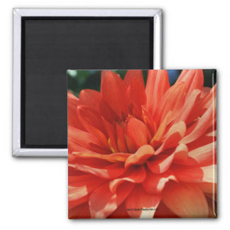 Red Dahlia Flower Photo Magnet