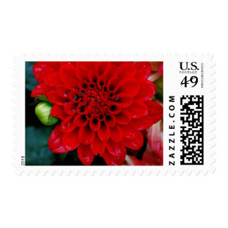 Red Dahlia Postage