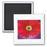 Red Daisy Gerber Flower Painting Art - Multi Fridge Magnets