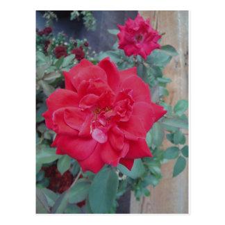 Red dark pink Rose Postcard