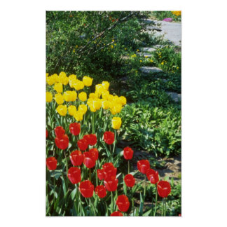 Red Darwin hybrid tulips flowers Poster