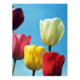 Red Darwin Tulips flowers Post Card