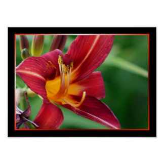 Red Daylily Flower Poster