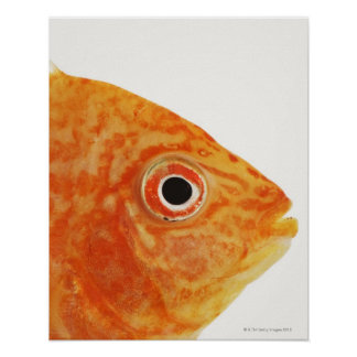 Red Deacon fish Poster
