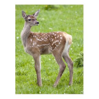 Red Deer Fawn Postcard