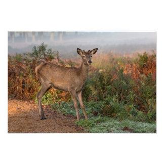 Red Deer fawn Print Photo Print