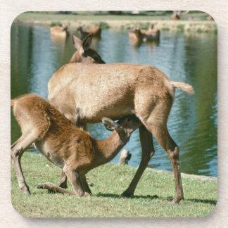 Red deer nursing offspring drink coaster