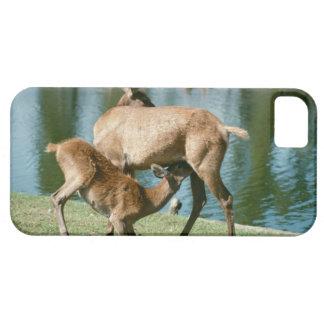 Red deer nursing offspring iPhone SE/5/5s case