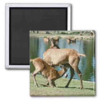 Red deer nursing offspring refrigerator magnet