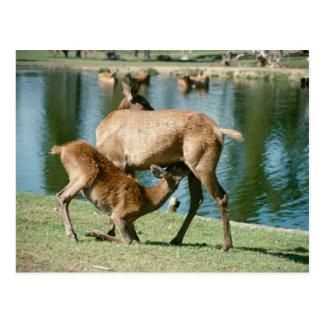 Red deer nursing offspring postcard