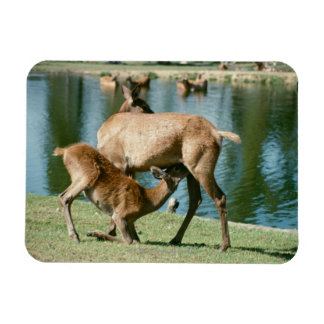 Red deer nursing offspring vinyl magnets