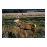 Red Deer Print