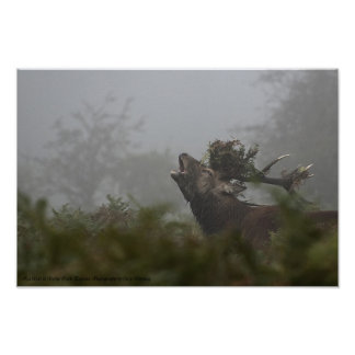 Red Deer Stag, Bushy Park, England Poster