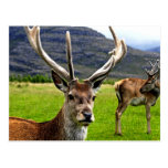 Red Deer Stag Post Cards