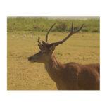 Red Deer Stag Wood Print