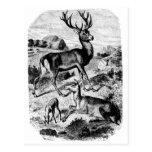 Red Deer Vintage Wood Engraving Postcard
