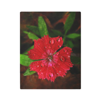 Red Dianthus Flower With Raindrops Metal Photo Print